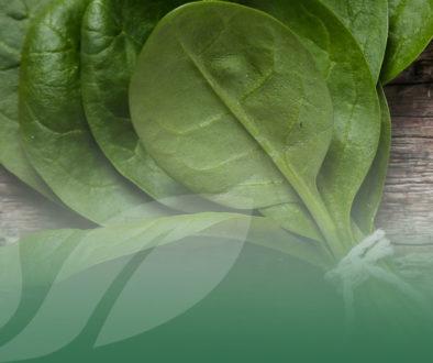 OP Isola verde_baby leaf_spinacio spinacino BLOG