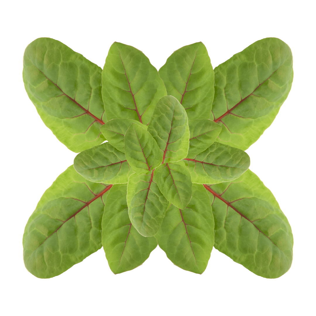 red chard 1