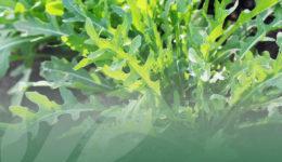 OP Isola verde I benefici della rucola selvatica