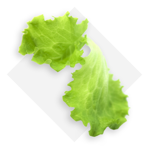 Green baby lettuce