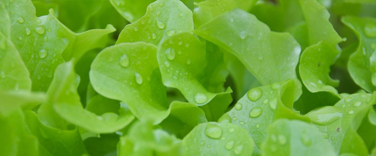 OP Isola verde Prevenzione la parola d'ordine per le nostre baby leaf